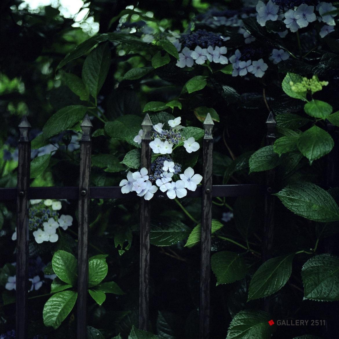 No.132 -「장마와 수국(대비)」 2006 Camera:SEAGULL 4A-109