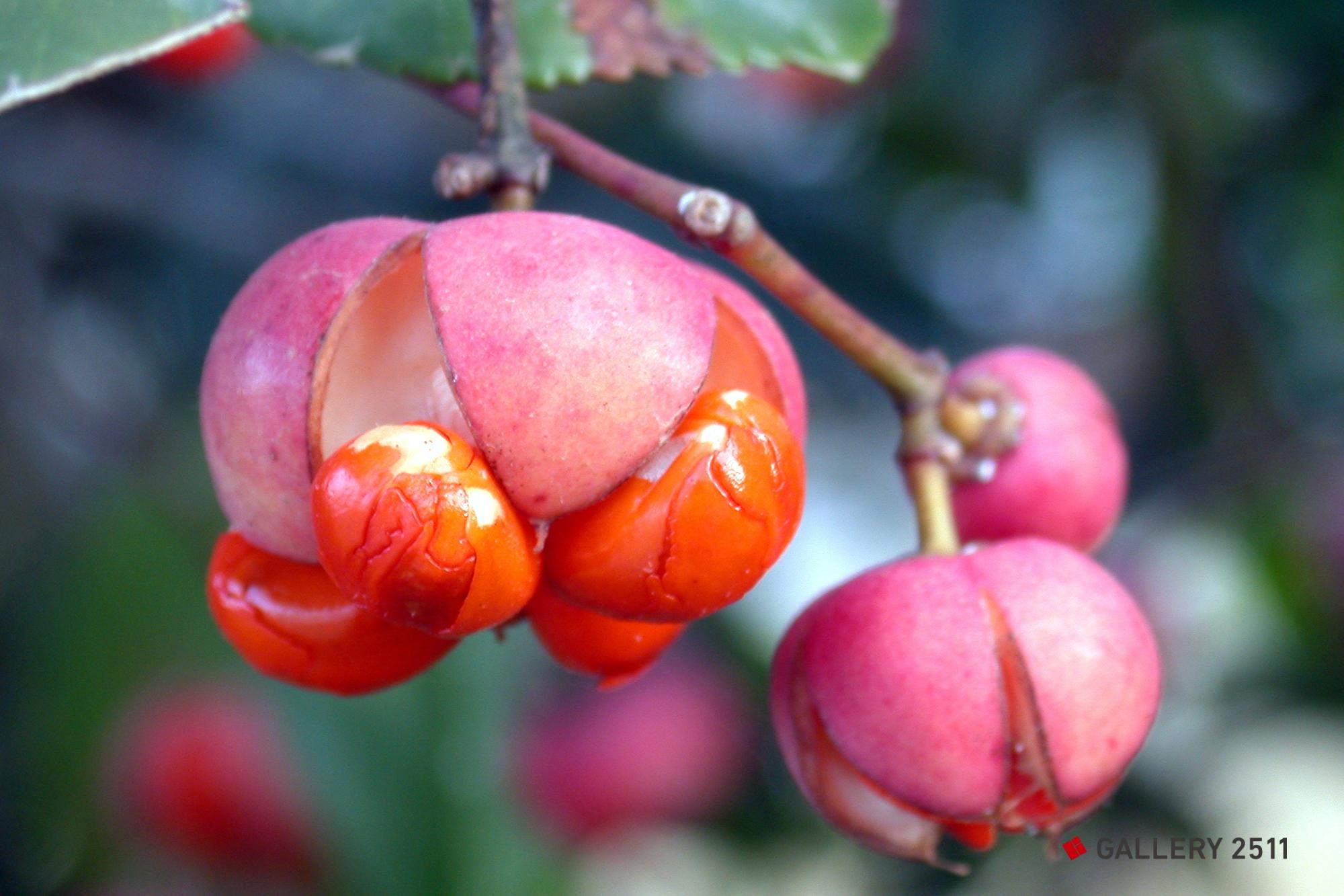 spindle tree nut