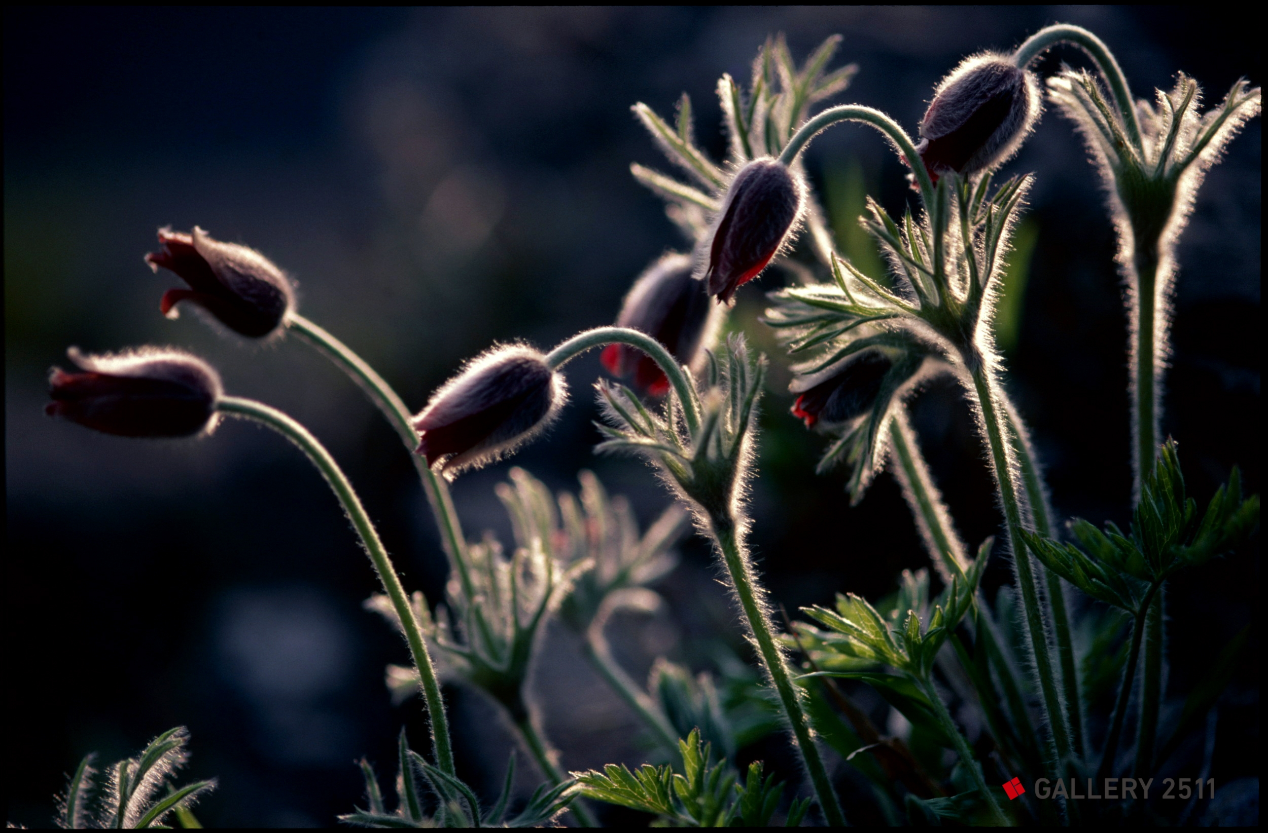 a pasque flower youth