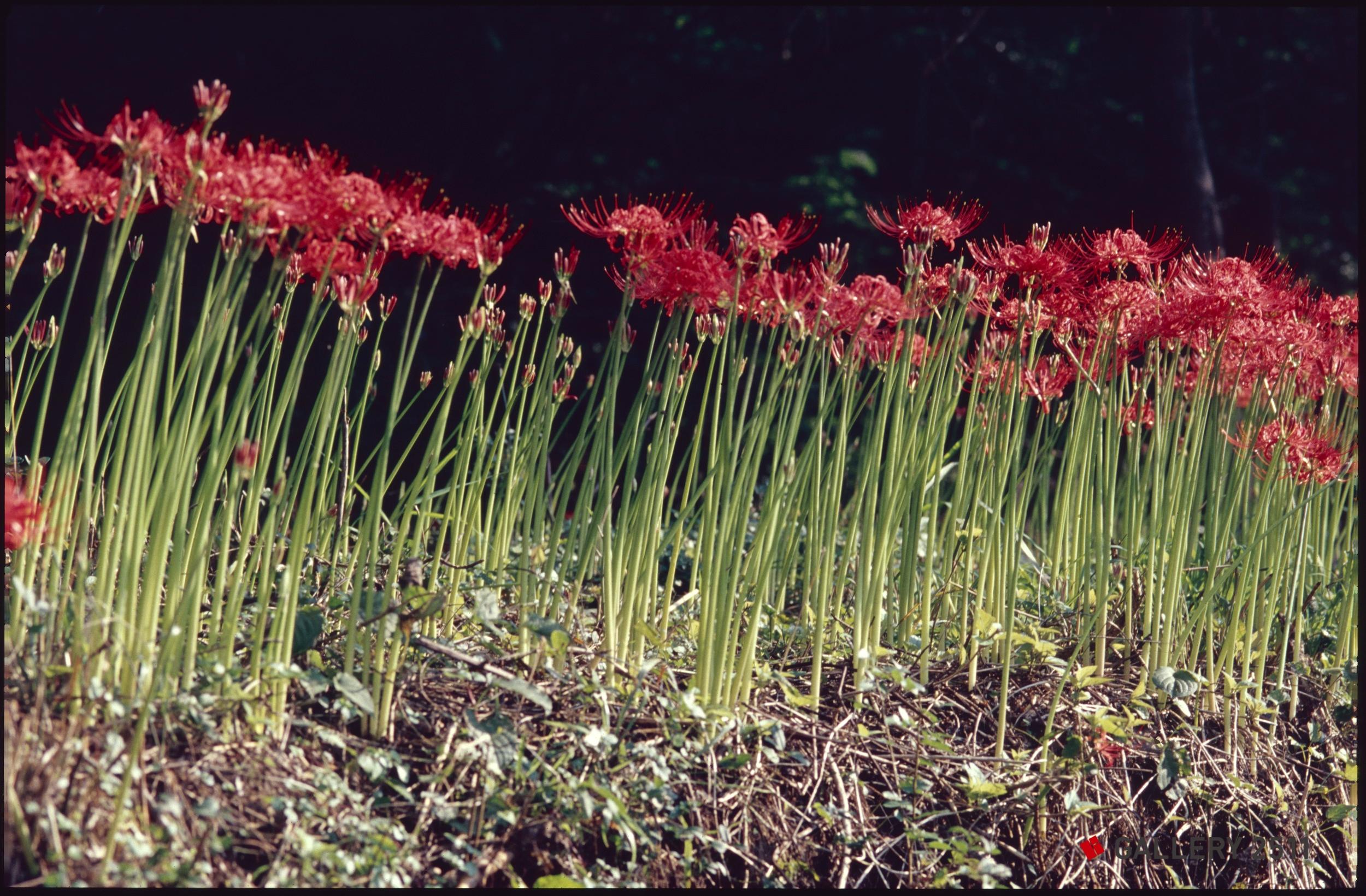 magic lily