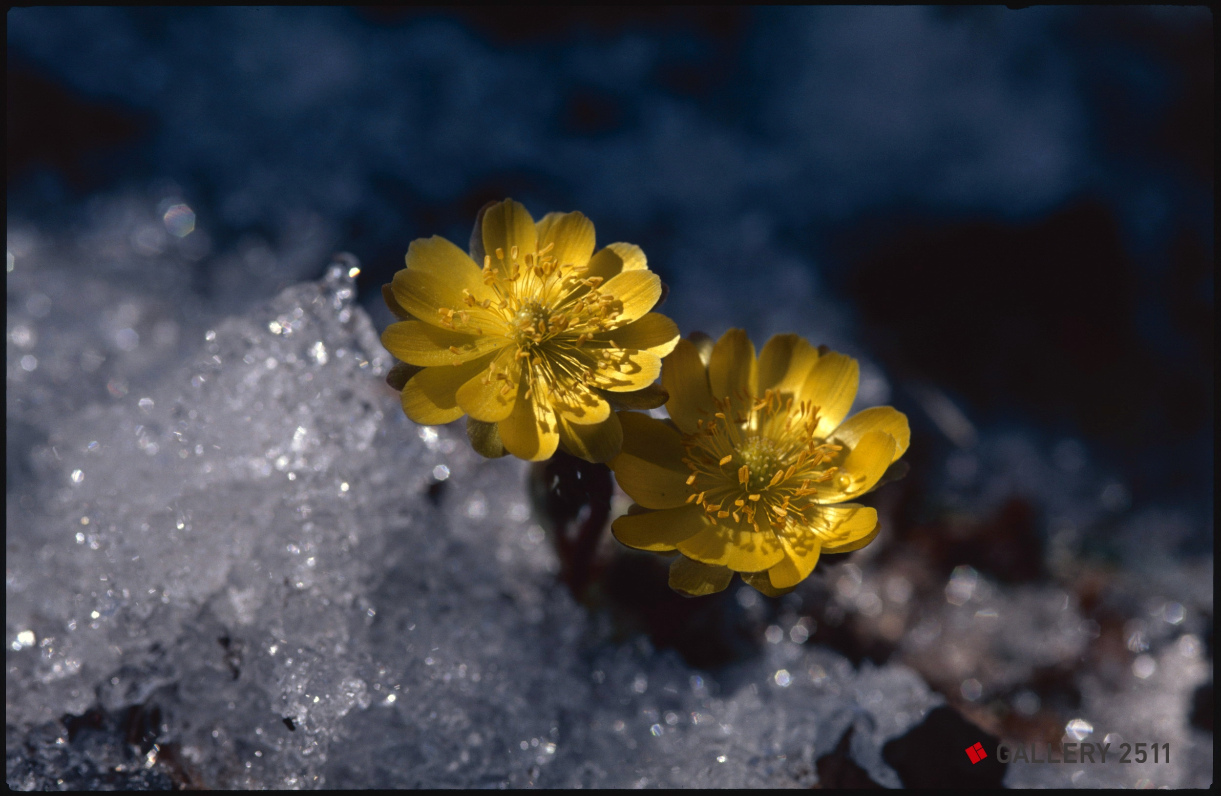 spring adonis in the snow